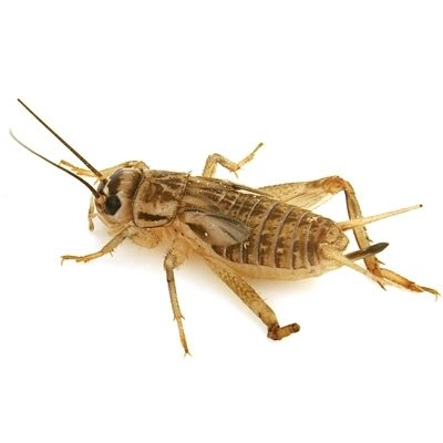 Live Crickets 10 Count