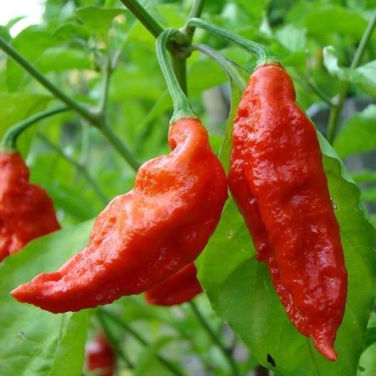 Fresh Bhut Chillies