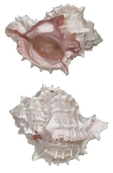 Pink Murex 6 - 7 cm