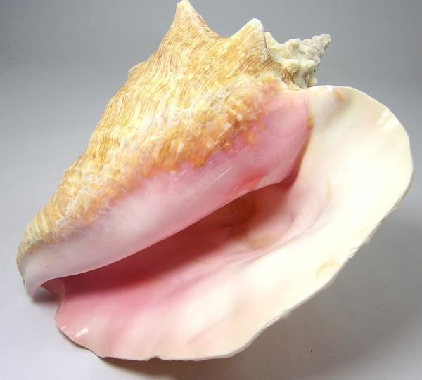 Genuine Conch Shell (slit back)