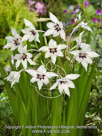 Gladiolus Acidanthera murielae