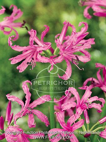 Nerine bowdenii  pink