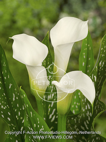 Zantedeschia 'Snow Star'