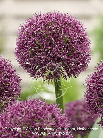 Allium 'Ostara'