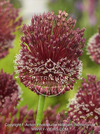 Allium 'Red Mohican'