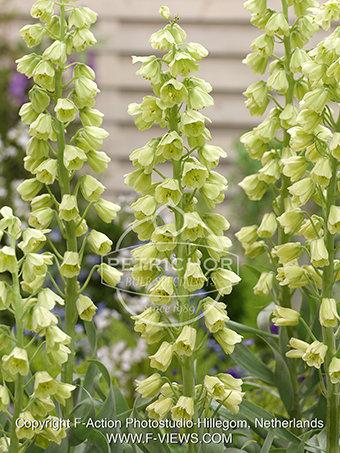 Fritillaria persica' Ivory Bells'