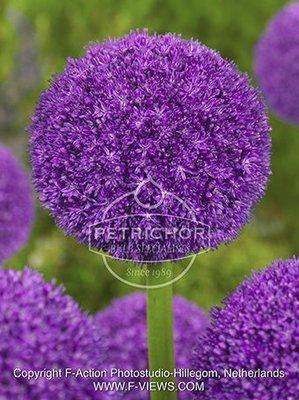 Allium  'Ambassador '