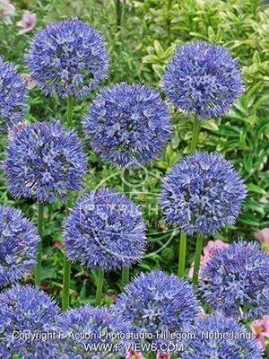 Allium caeruleum azureum