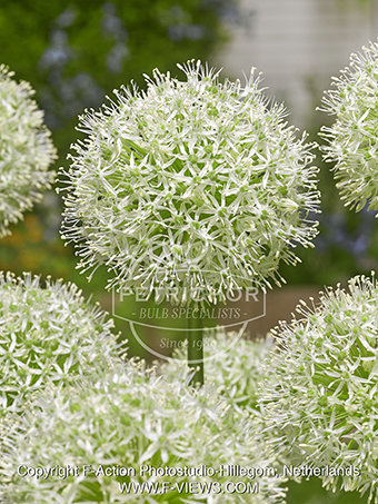 ​Allium  'Mount Everest'