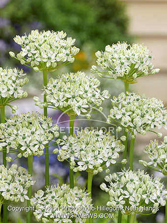 Allium Nigrum Multibulbosum