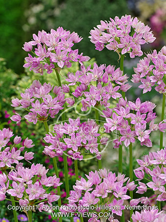 Allium unifolium