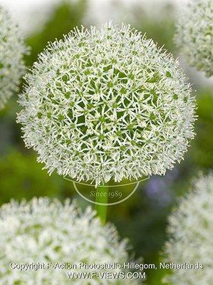 Allium 'White Giant'