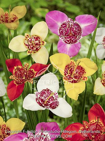 Tigridia pavonia mixed