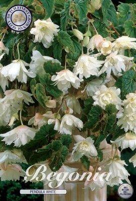 Begonia Pendula White