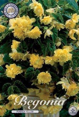 Begonia Pendula Yellow