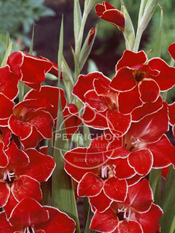Gladiolus colvillii 'Atom'