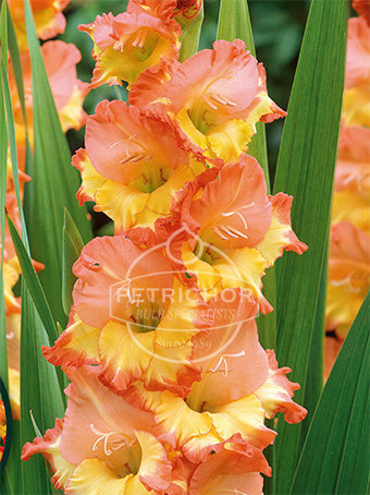 Gladiolus nanus 'Las Vegas'