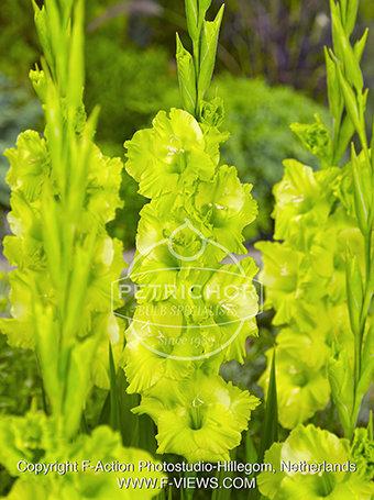 Gladiolus ' Green Star'