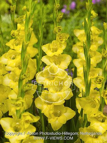 Gladiolus 'Nova Lux'