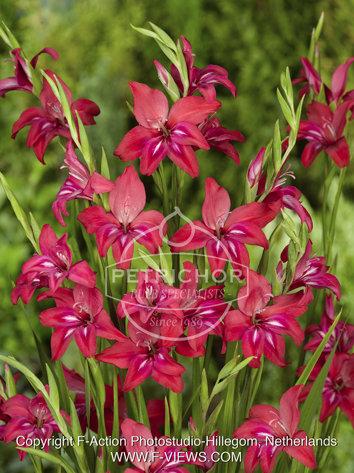 Gladiolus nanus 'Robinetta'