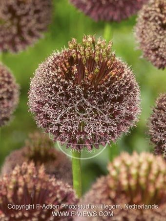 Allium 'Forelock'
