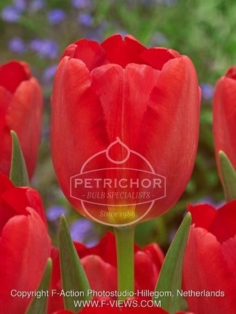 Tulipa 'Triumph Red'