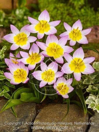 Tulip bakeri 'Lilac Wonder'