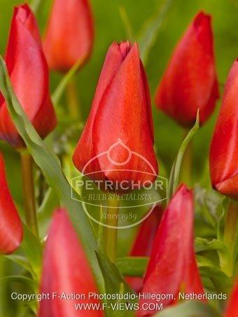 Tulipa batalinii 'Red Hunter'