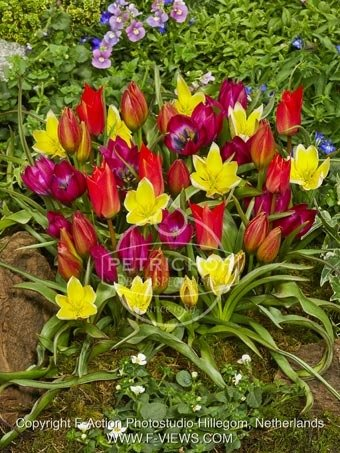 Tulipa species mixed