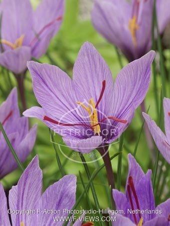 Crocus sativus (saffron crocus)
