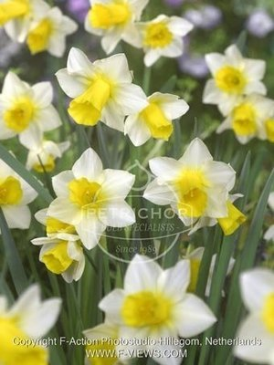 Narcissi 'Golden Echo'