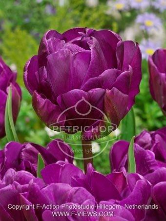 Tulipa 'Negrita' double