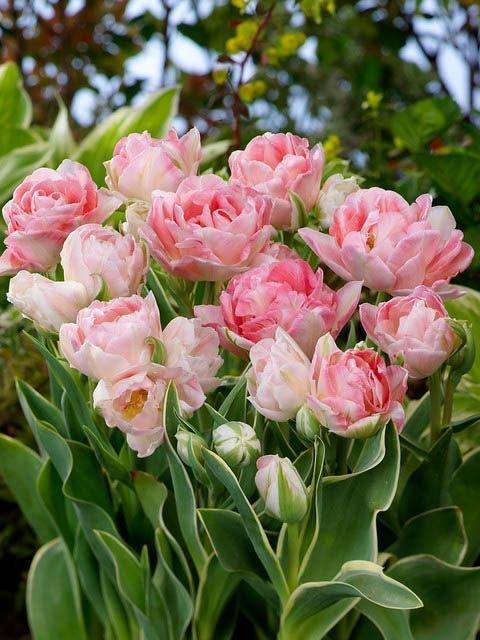 Tulipa' Annelinde'