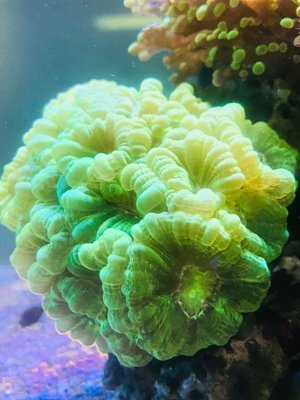 Kryptonite Candy Cane Coral Frag