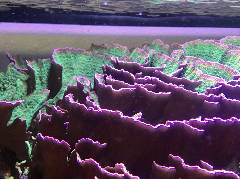 Pippins Purple Rimmed Montipora Capricornis