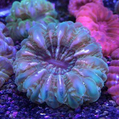 Green Cynarina Coral