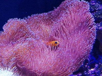 Toadstool Leather Umbrella Coral