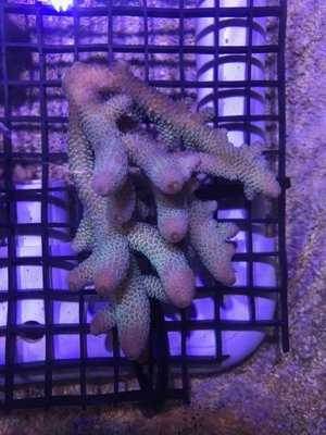 FT Endless Possibilities Spathulata Acropora Frag