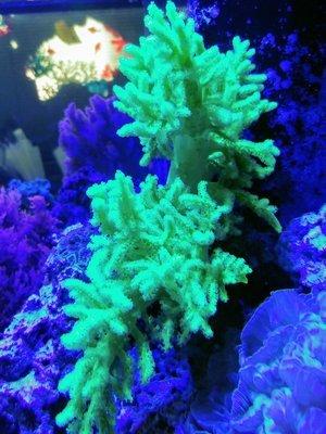Palau Green Nepthea