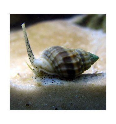 Mexican Vibex Nassarius Snails