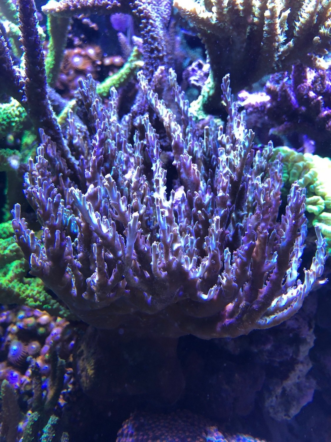 FT A-Vaughn Acropora