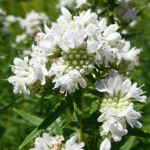 Mountain Mint (Pycnanthemum virginianum)