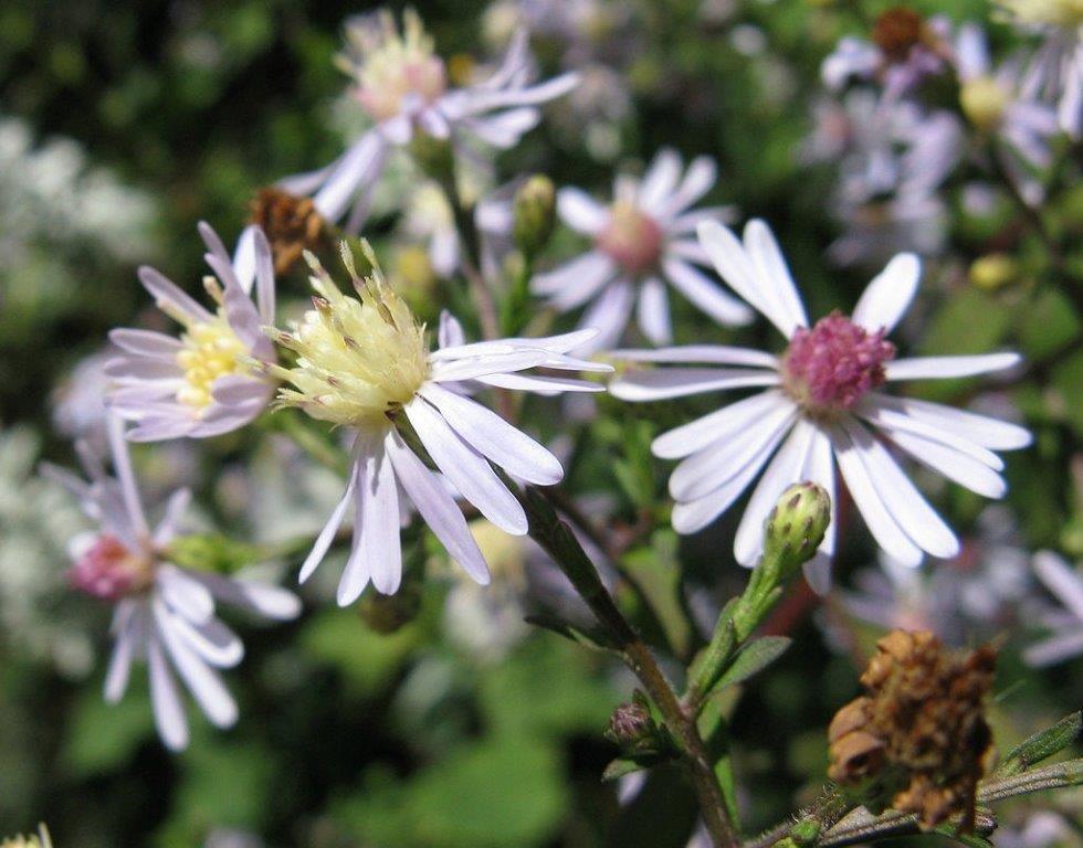 Blue Wood Aster (Aster Cordifolium)