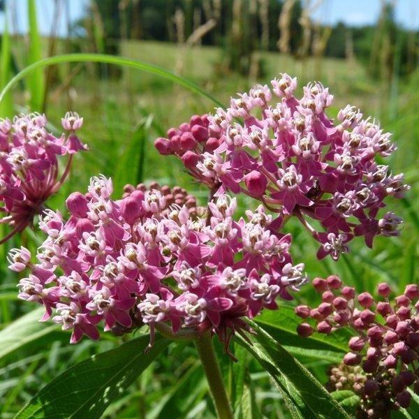 Red Milkweed ( Ascelepias Incarnata)