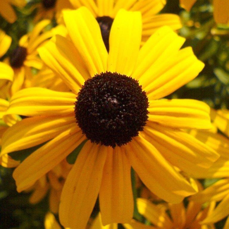Showy Black-Eyed Susan (Rudbeckia Fulgida Speciosa)