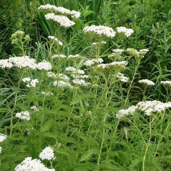 Native Yarrow (Achillea millefolium)