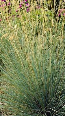 Koeleria glauca Plant in 9cm Pot Blue Hair Grass
