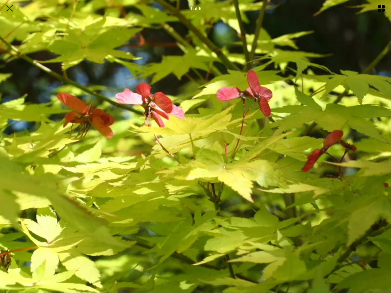 Acer Palmatum Summer Gold Japanese Maple Garden Or Containers19