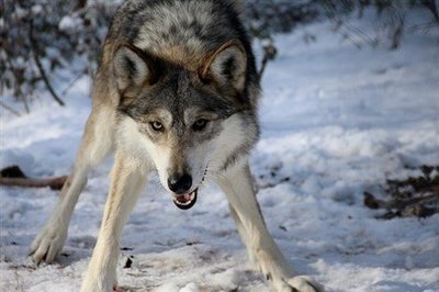 """Adopt Mexican Gray Wolf M1198 """"Alleno"""" 908"""