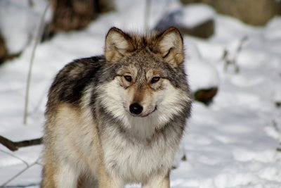 "Adopt Mexican Gray Wolf M1507 ""Maus"" 912"